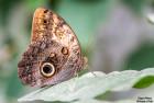 Mariposa buho en el #Parque