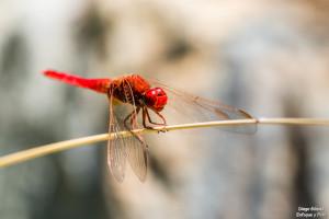 libélula macro tamron 90 mm enfoque y foto para facebook